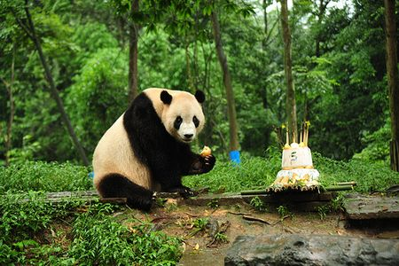 panda bear birthday